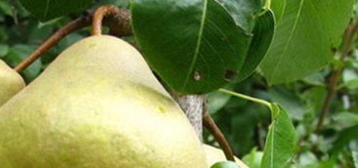 Спелый плод сорта груши Сокровище вблизи