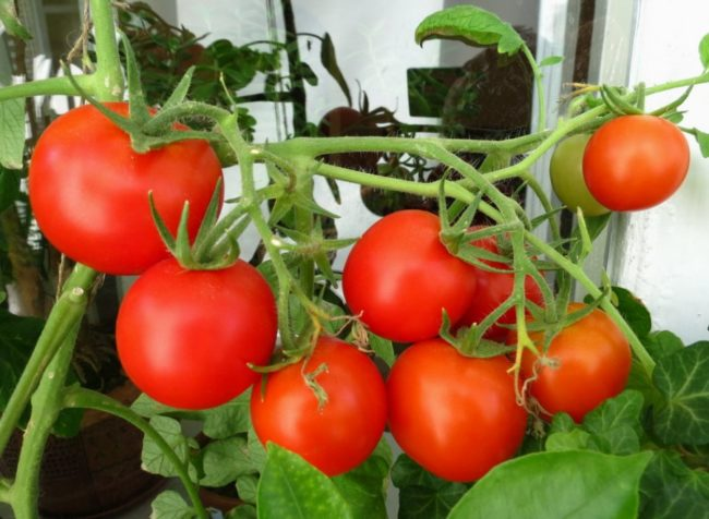 Кисть томатов со спелыми помидорами красного цвета