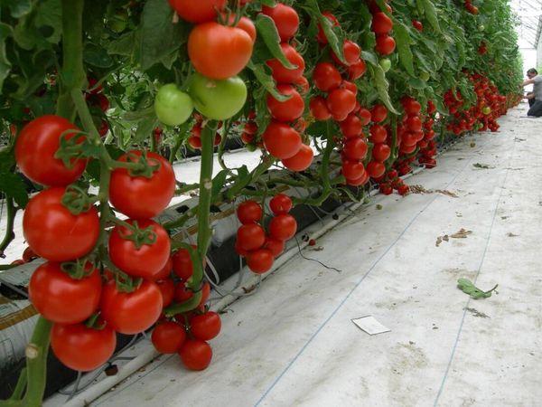 Красные помидоры в тепличных условиях в августе