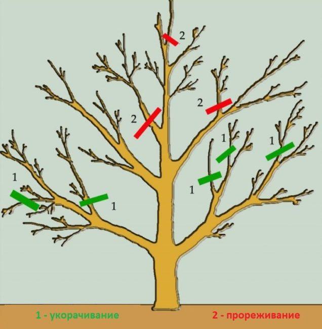 Схема методов обрезки взрослой груши