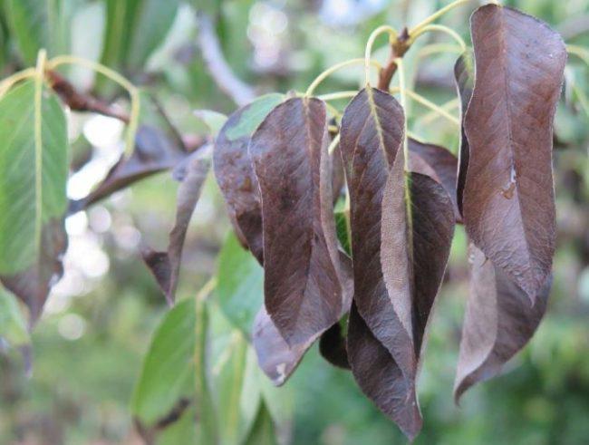 Сухие потемневшие листья груши после поражения растения бактериальным ожогом