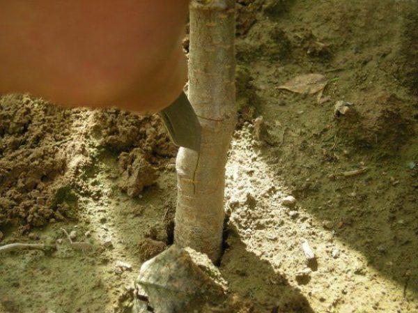 Надрезание коры над корневой шейкой ствола молодого подвоя