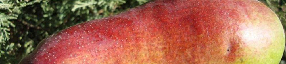 Огромный плод груши сорта Талгарская красавица вблизи спелый