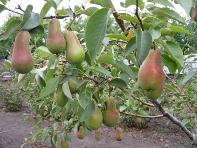 Вытянутые груши сорта Талгарская Красавица на ветке пятилетнего деревца