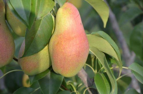 Плод груши сорта Талгарская Красавица с кожицей желто-красного цвета