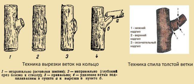 Схемы правильного среза и спила веток грушевого дерева