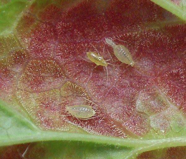 Мелкая тля на листе груши под большим увеличением