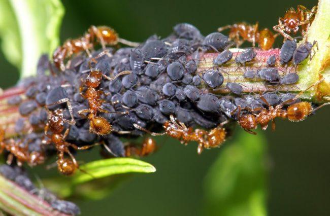 Черная тля и муравьи на стебле помидоры вблизи