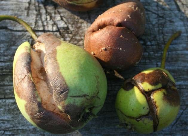 Плоды груши с глубокими трещинами вследствие неравномерного поступления воды