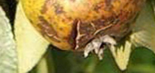Треснул спелый плод груши