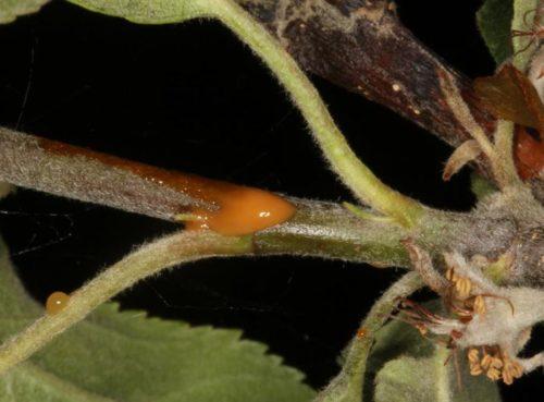 Засохший цветок на ветке груши от бактериального ожога