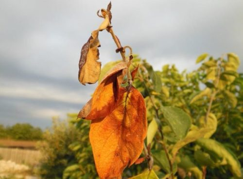 Ветка грушевого дерева с засохшими листьями от бактериального ожога