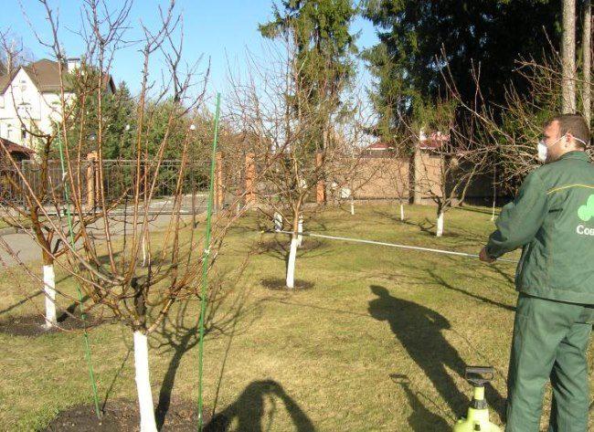 Ранневесеннее опрыскивание молодых груш в частном саду