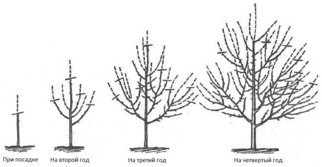 Формирование кроны груши с посадки до четвертого года жизни
