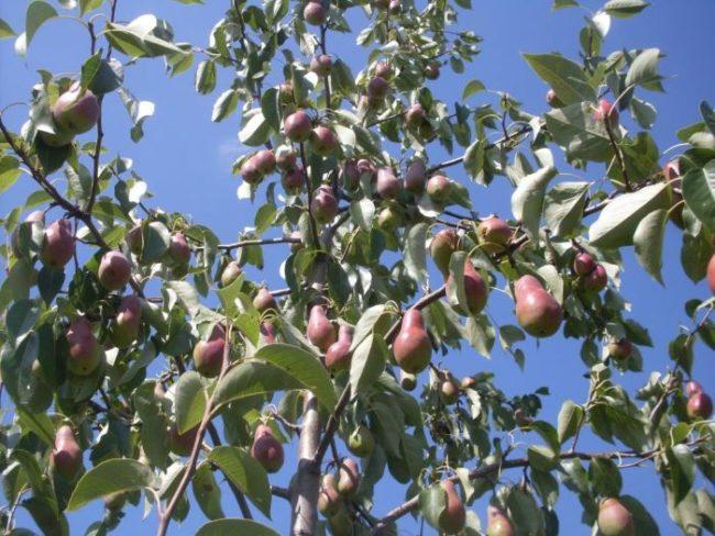 Ветки взрослого дерева груши с плодами удлиненно-грушевидной формы