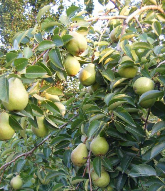 Ветки груши сорта Вильямс Летний с плодами зеленого окраса