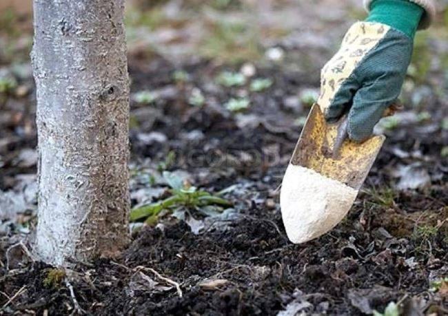 Внесение подкормок в почву вокруг грушевого дерева
