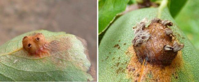 Признаки последней стадии ржавчины на листе груши