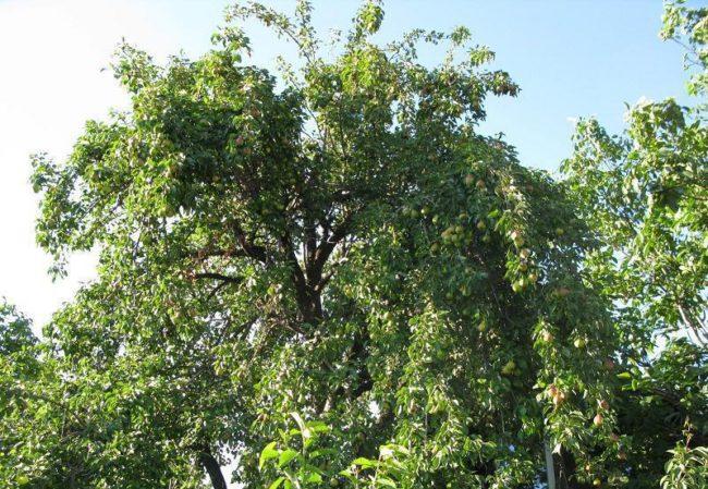 Высокое дерево груши в старом саду дачного участка