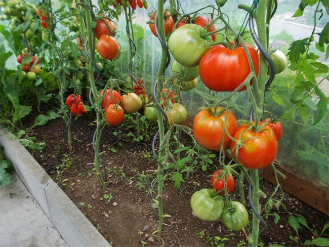 Созревание помидоры на высокорослых сортах томатов в теплице