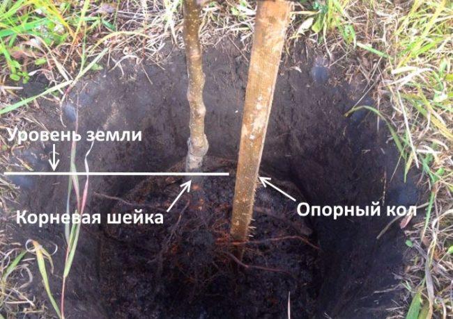 Схема размещения саженца груши в посадочной яме