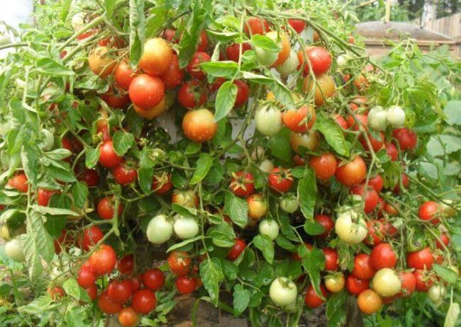 Ветки с помидорами неравномерной окраски в районе плодоножек
