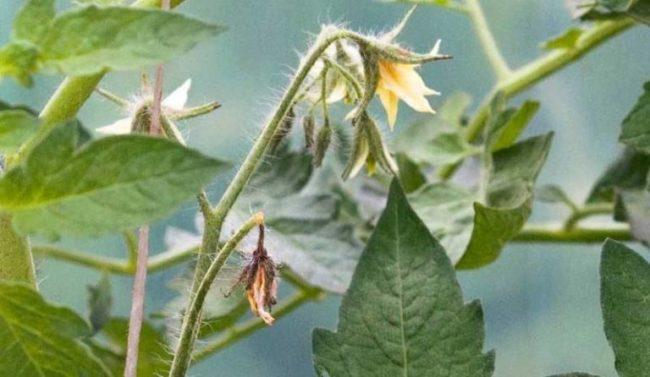 Поникший цветок на ветке помидоры вблизи