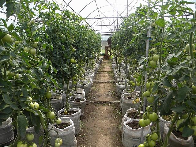Рослые кусты томатов с плодами зеленого цвета в тепличных условиях