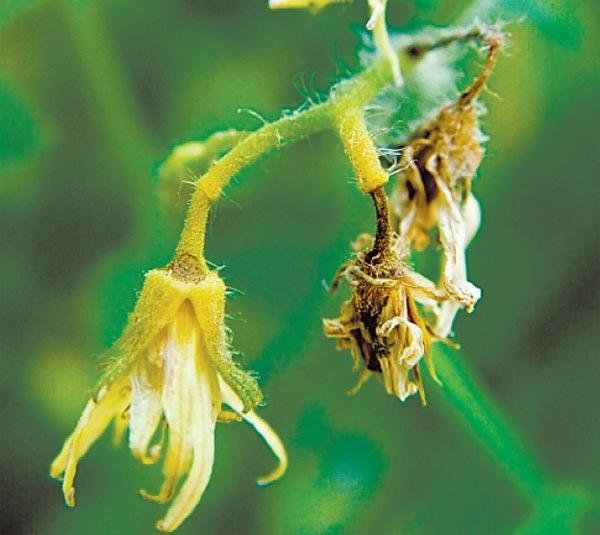 Цветки помидоры, засохшие из-за нехватки калия