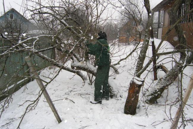 Обрезка старого дерева груши в зимний период