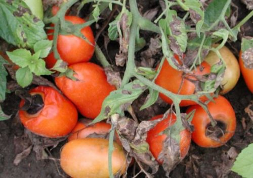 Плоды томата с признаками заражения альтернариозом