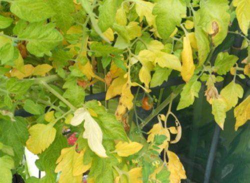Признаки недостатка азота в питании помидоры