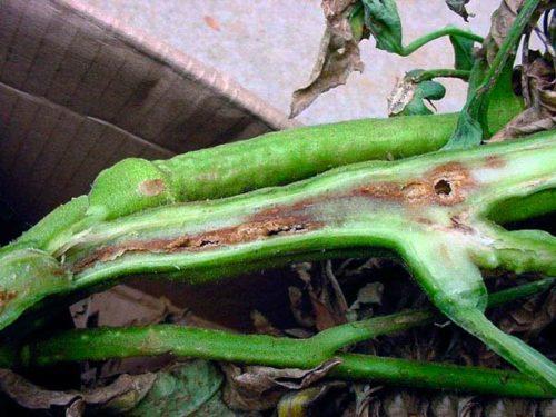 Разрез стебля помидоры с признаками заражения растения бактериальным раком