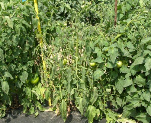 Куст помидоры в начале заболевания бактериозом