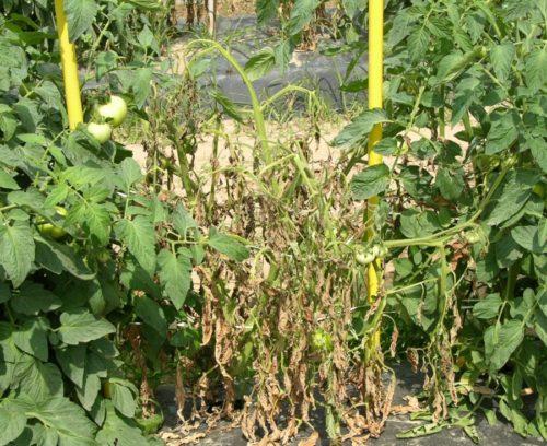 Поздняя стадия бактериального увядания томатного куста