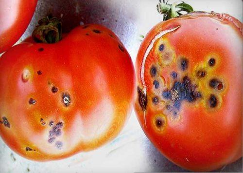 Черные пятна на красных помидорах от бактериального заболевания