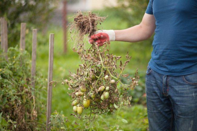 Огородник выдернул с корнем куст помидоры, зараженный фитофторой