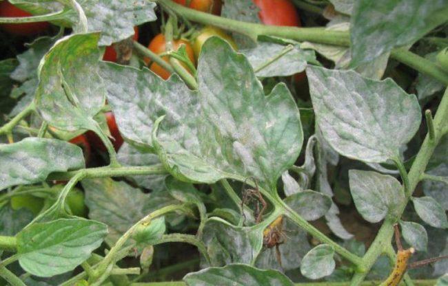 Ветки помидоры в теплице, зараженной мучнистой росой