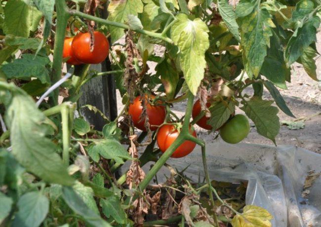 Засыхающие ветки – один из признаков недостатка йода у помидоры