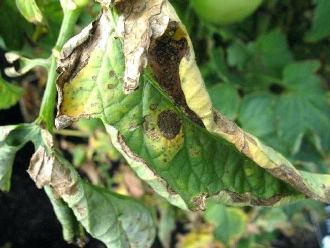 Больной лист помидоры с признаками, характерными для бурой пятнистости