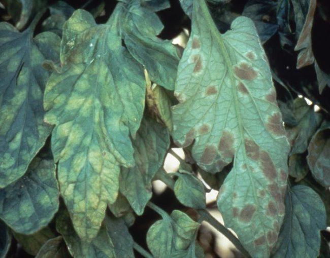 Листья томата с желтоватыми и бурыми пятнами
