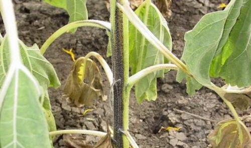 Признаки поражения куста помидоры черной ножкой