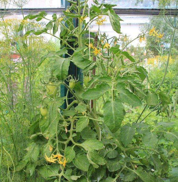 Цветущий куст помидор в стеклянной теплице на частном садовом участке