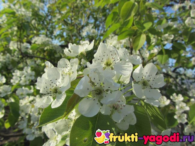 Цветение взрослого дерева сортовой груши в частном саду