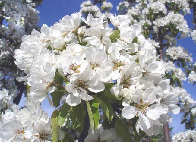 Обильное цветение груши селекционного сорта Маршал Жуков
