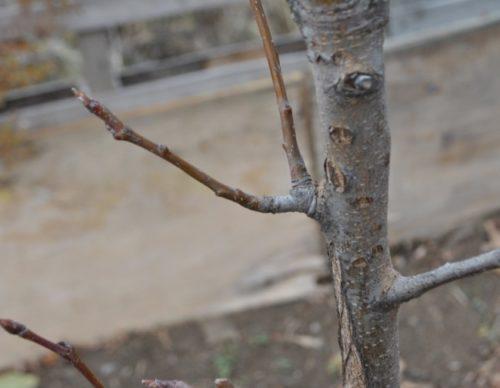Вид вблизи плодового прутика грушевого дерева