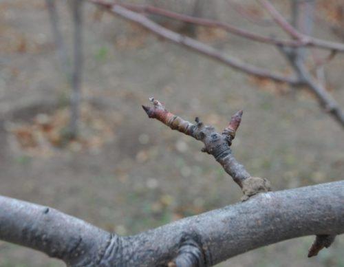 Ветка-кольчатка груши, плодоносящая в течении нескольких лет