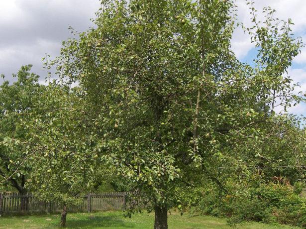 Взрослое дерево груши гибридного сорта Февральский сувенир