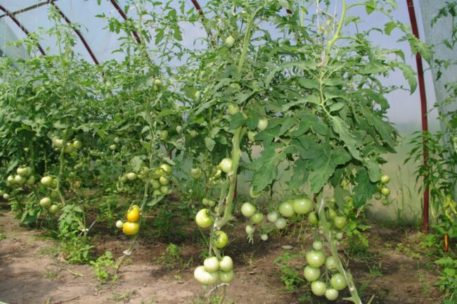 Фото детерменантных сортов помидоры в теплице