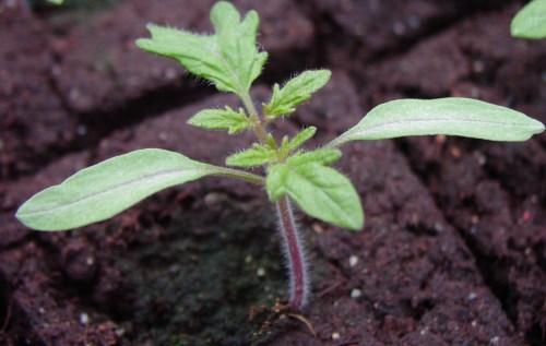 Маленький росток помидоры с несколькими листиками